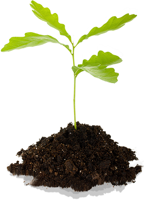quercus-doing-our-bit-seedling